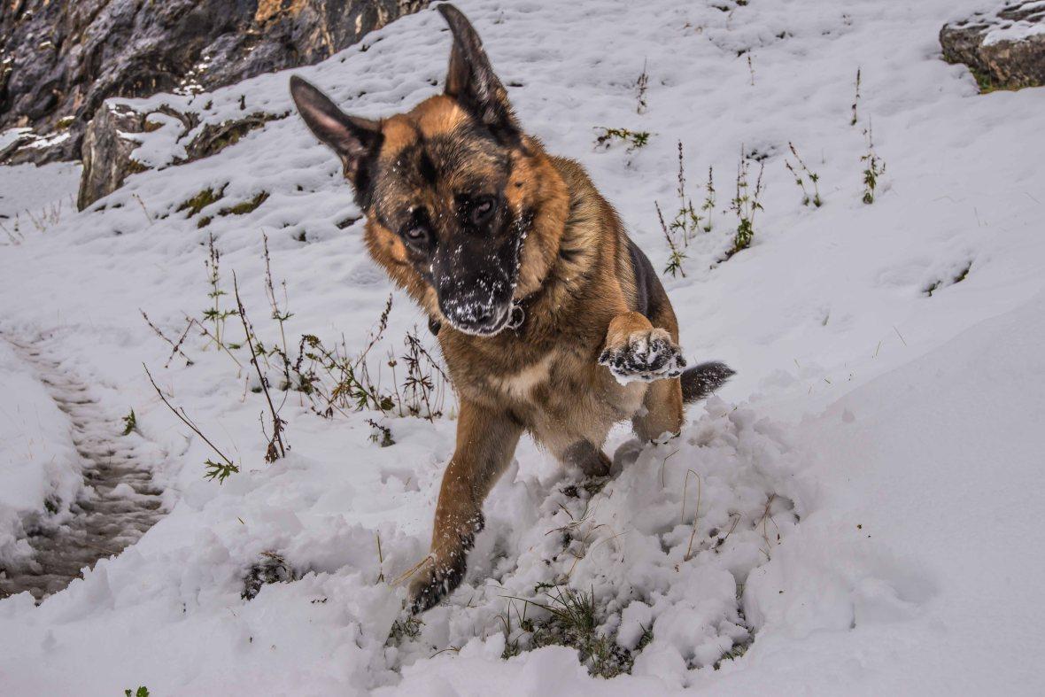 Pastore tedesco gioca nella neve.