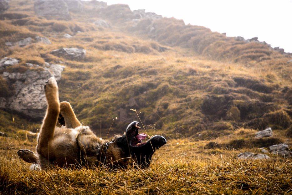Pastore tedesco si rotola nell'erba nei pressi del rifugio Croda da lago