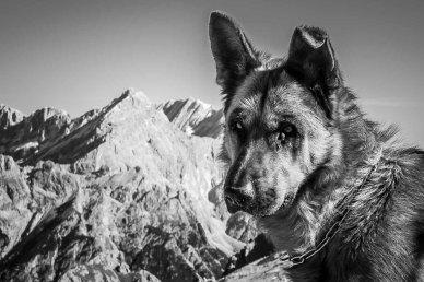 Immagine di pastore tedesco in bianco e nero