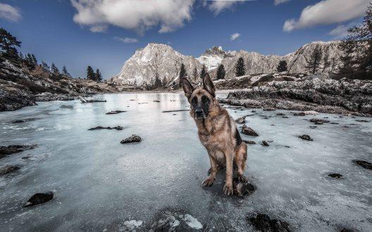 Pastore tedesco al lago di Limedes ghiacciato, sullo sfondo il Lagazuoi