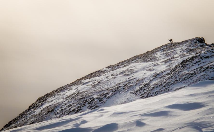 Camoscio alla ricerca di cibo in inverno nei pressi di Mondeval.